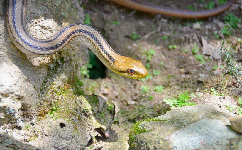 シマヘビの画像 p1_4