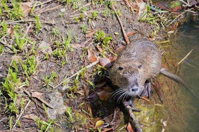 で、でけえ。最大級のネズミ「ヌートリア」。毛皮は良質、食べる